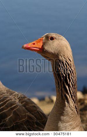 A goose 2