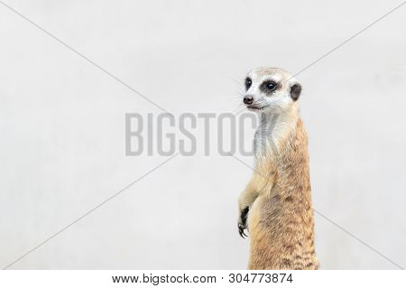 Cute Meerkat Suricata Suricatta, African Native Animal, Small Carnivore Belonging To The Mongoose Fa