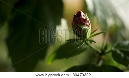Close Up For Unopened Red Rose Bud And Green Petals, Beauty Of Nature. Stock Footage. Beautiful Rose