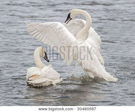 Trumpeter Swan (Cygnus buccinator) Display With Splashes
