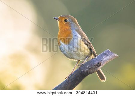 European Red Robin (erithacus Rubecula) Perched On Stick With Bright Back Lit Morning Light In Garde
