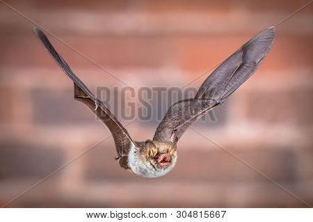 Flying Natterers Bat Isolated On Brick Background