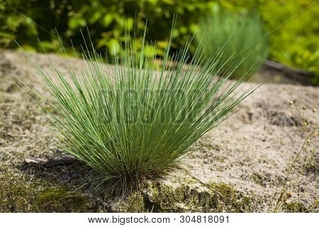 Corynephorus Canescens Perennial Grass Grows Predominantly In The Sand And On The Outskirts Of Fores