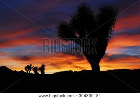 Beautiful Bright Colors Sunset With Joshua Tree Silhouette In Joshua Tree National Park, California,
