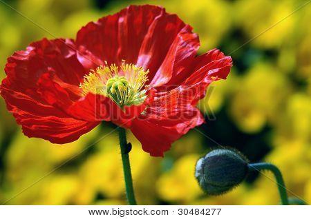Red Iceland Poppy