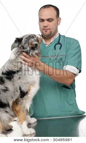 Vet examining an Australian Shepherd in front of white background poster