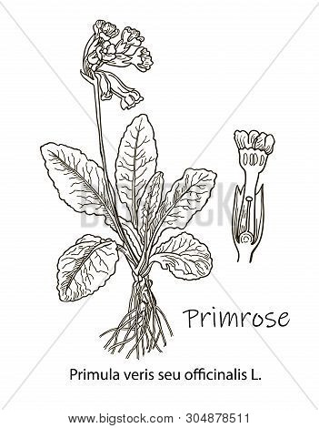 The Picture Is Showing A Parts Of Primrose Plant. There Are Flower Clusters, Bud, Anther, And Leaves