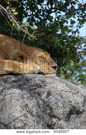 Lion On Rock At Simba Kopjes