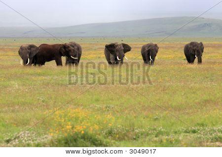 Elefant Bull In Ngorongoro Krater, Tansania