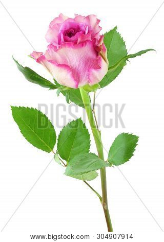 Beautiful Roses (Rosaceae) isolated on white background, including clipping path. Germany poster