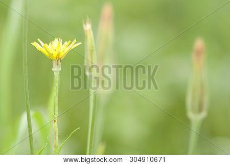 Bloom In The Field Tragopоgon