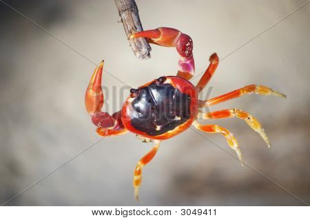 Crab Touloulou