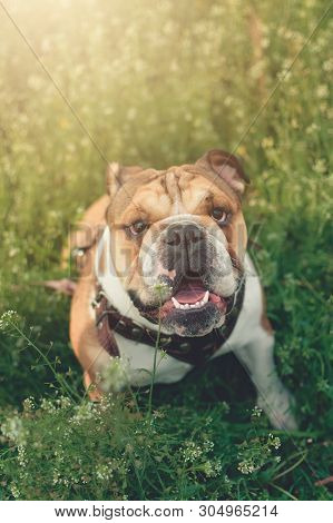 Funny Smiling English Bulldog. Cute Young English Bulldog Playing In Green Grass. Dog Training. Happ