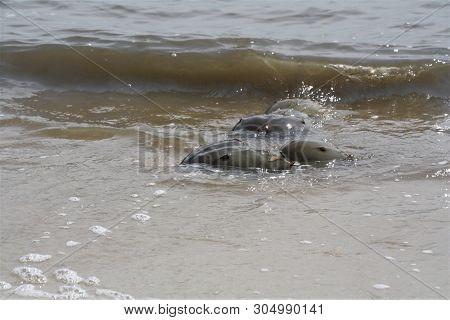 Horseshoe Crabs At The Beach At Mating Season