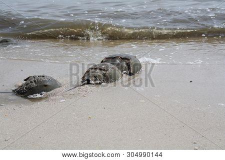 Horseshoe Crabs At The Beach Mating Season