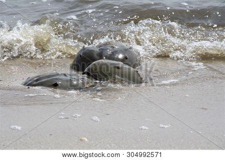Horseshoe Crabs At A Beach During Mating Season