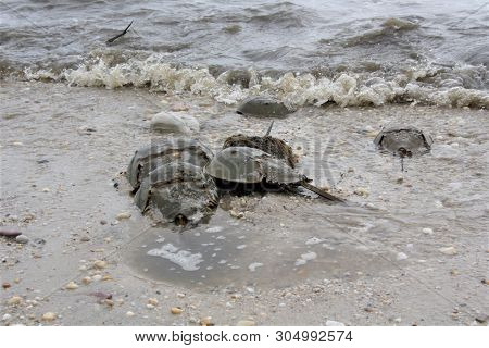 A Beach With Horseshoe Crabs During Mating Season
