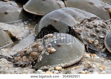 Horseshoe Crabs Mating Season On The Beach