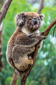 The brown koala or marsupial bear is a herbivorous marsupial mammal sitting on a branch. Endemic of Australia. Adorable Shaggy Brown Teddy Bear. Ecotourism concept poster