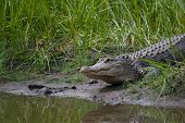 alligator on muddy bank with marsh grass poster