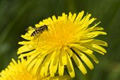 Insect on a bright yellow Dandelion flower poster