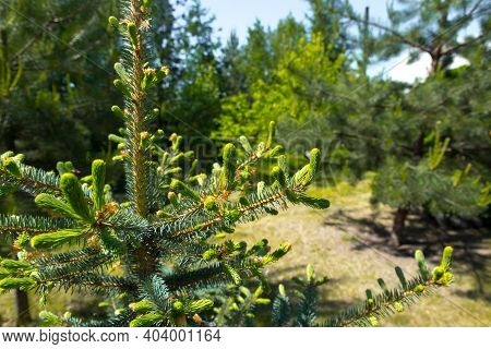 Young Blue Spruce Against The Background Of Forest, Taiga, Park. Spring Coniferous Background. Conif
