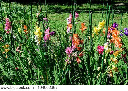 Close Up Of Many Delicate Vivid Yellow, Pink, Orange, Purple And White Gladiolus Flowers In Full Blo