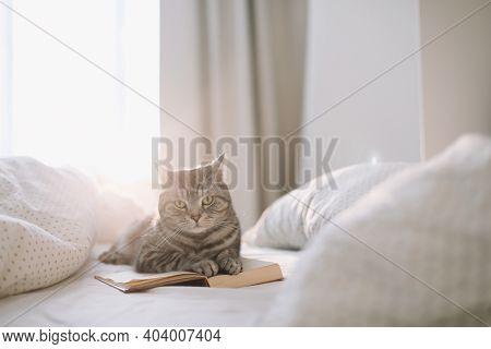Cute Scottish Straight Grey Tabby Cat Lying On Bed And Sleeping In Soft Morning Light.