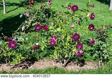 Large Bush With Many Delicate Vivid Purple Roses In Full Bloom In A Summer Garden, In Direct Sunligh