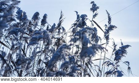 Dry Coastal Reed With Snow Is Under Blue Sky, Natural Winter Photo Background With Soft Selective Fo