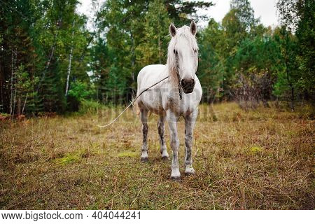 A White Country Horse Grazes On The Edge Of The Forest. The Mare Is Tied On A Rope And Grazing In A