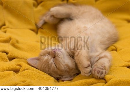Sleeping British Ginger Kitten