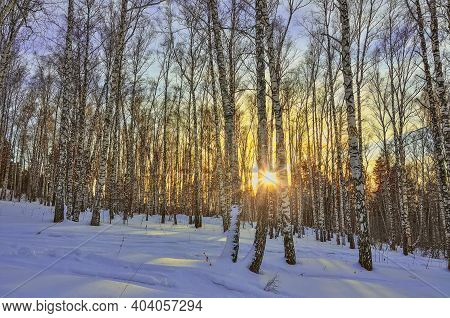 Winter Sunset In The Birch Forest. Golden Beams Of Sunlight Among White Trunks Of Birch Trees, Snowy