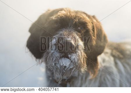 Drathaar. Hunting Dog In Winter In Severe Frost.
