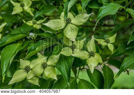 A Small Chinese Dogwood Tree Full Of Greenish Flowers Blooming With Lush Foliage Covered With Water