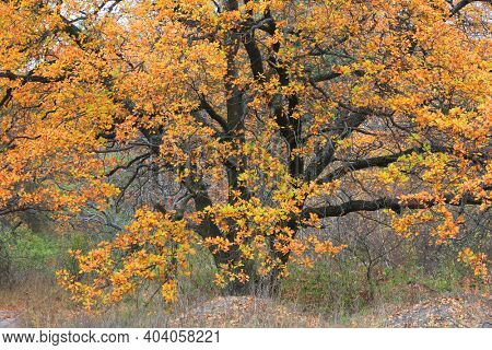 Majestic autumn oak tree in forest