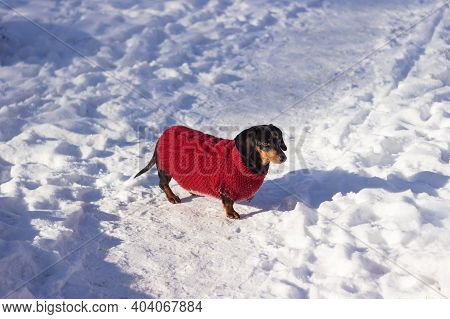 The Black Dachshund Is Dressed In A Red Knitted Jumpsuit And Stands In The Snow On A Sunny Day. Pet
