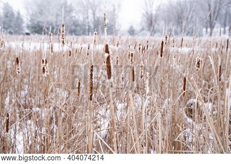 Winter Scene Of Cattails Covered In Rime Ice Or Hoar Frost In A Bog In Minnesota
