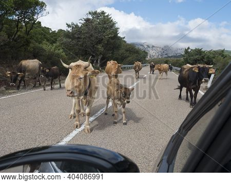 Close Up Herd Of Cows With Calfs Walking In The Middle Of The Asphalt Road Viewed From Driver Car Wi