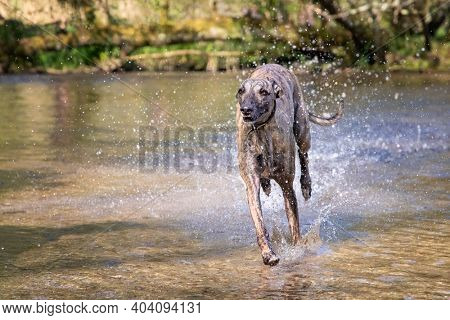 Adult brindled whippet runs through a river in the English countryside, Dorset, UK