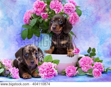 tvo puppy, dachshund puppy brown tan color and merle dog