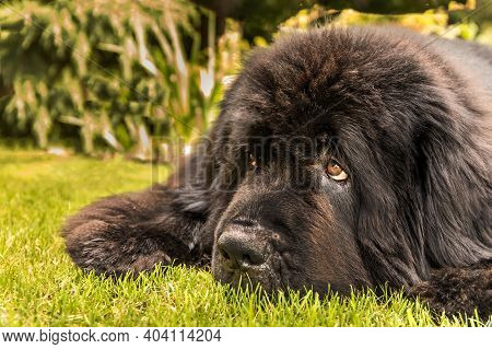 Lying Newfoundland Dog. Close-up Of A Newfoundland Dog Head. The Dog Is Resting On The Lawn. Dog's E