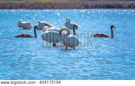 A White Mute Swans With Orange And Black Beak And Young Brown Coloured Offspring With Pink Beak Swim