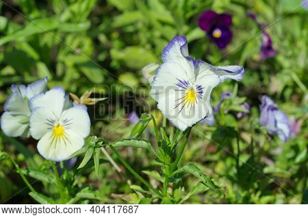 Violet Tricolor (lat. Viola Tricolor), Or Pansies Blooms In The Summer Garden