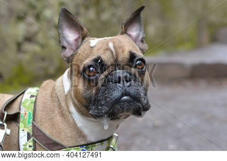 Messy French Bulldog Dog With Drool Dripping From Mouth And Saliva On Head