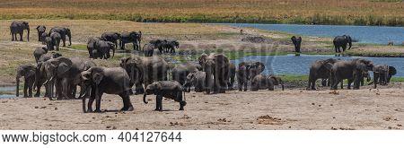 Herd Of Elephants On The Chobe River In Chobe National Park, Botswana