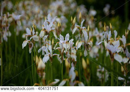 White Irises On The Flower Bed. Japanese Iris In The Garden. White Flowers In The Summer. The Buds A