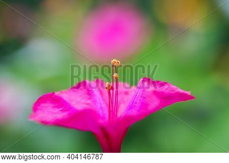 Flower Bed With Purple Petunias, Colourful Purple-red Petunia Flower Close Up, Petunia Flowers Bloom