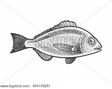 Gilt Head Bream Dorada Fish Sketch Engraving Vector Illustration. T-shirt Apparel Print Design. Scra