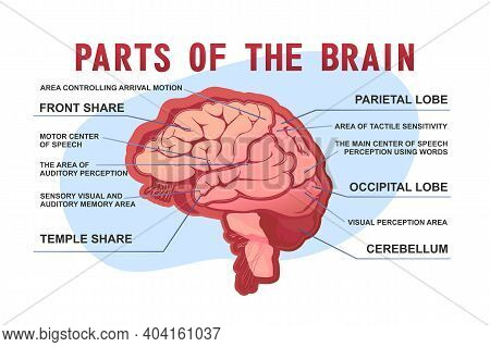 Parts Of The Brain Educational Scheme, Vector Horizontal Banner Illustration On White Background